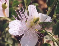 Caper bush flower with caperberry